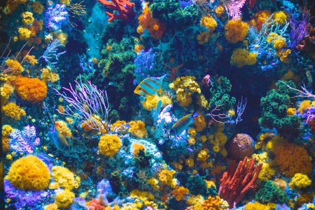 Planter og dyr lever sammen i korallrevet.
