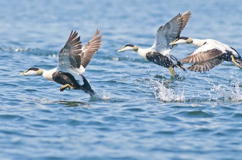 Tre Eiderender flyr nær havoverflaten. Foto: Peter Prokosch / GRID-Arendal.
