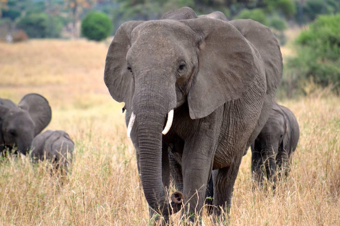 Elefanter i nasjonalparken Tarangire, Tanzania, 2013. Foto: Megan Coughlin/CC BY-ND 2.0