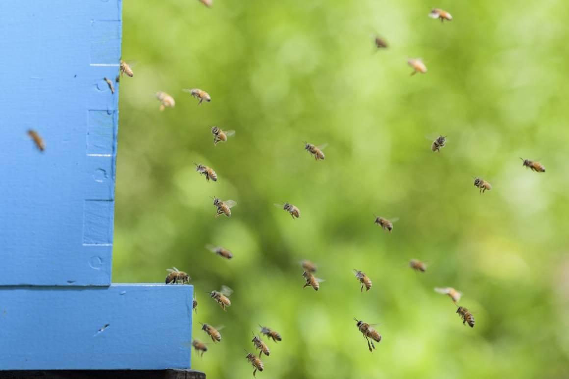 Denne bikuben ble satt opp ved FN-bygningen i New York i anledning Verdensdagen for bier i 2017. UN Photo/Manuel Elias