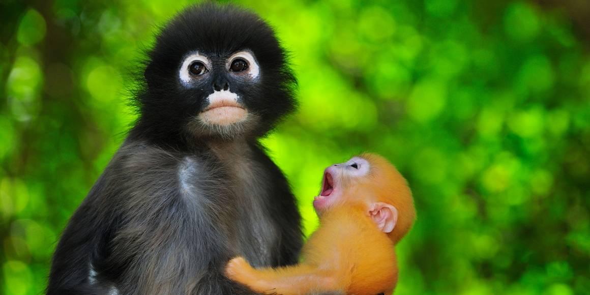 Aper, mor og barn. Foto: Thomas Marent/Regnskogfondet